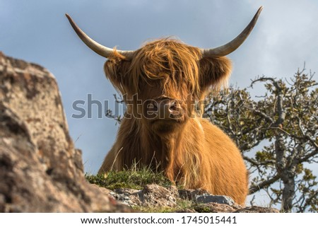 Highland Cattle in the Scottish Highlands, a classic breed of cattle bred for their hardiness and ability to easily cope with the highland weather #1745015441