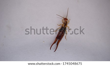 Close up of Earwig on a white background insect isolated Closeup earwigs Earwigs will use their pincers to defend themselves. close up insect, insects, animals, animal, bug, bugs, wildlife wild nature