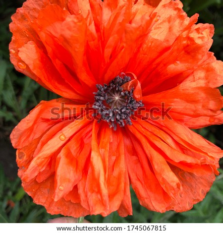 Macro photo poppy flower. Stock photo red blooming poppy flower