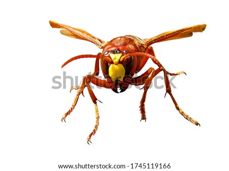 Murder hornets gian asian hornet vespa mandarinia Isolated on white background and drawing path