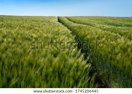Barley fields ,Barley grain is used for flour, barley bread, barley beer, some whiskeys, some vodkas, and animal fodder #1745206445