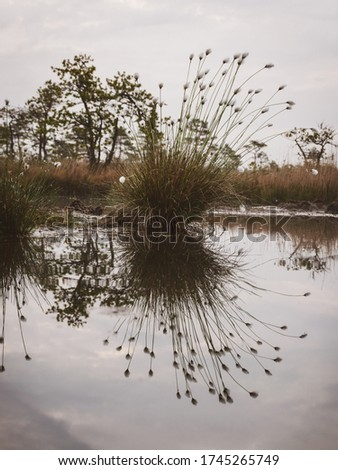 Swampy marsh in the bog, swamp cotton grass. Taken in a swamp in Niedraju Pilka bog, Latvia
