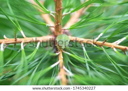 A selective focus shot of a  green bug is sitting on a green coniferous tree masked. Palomena prasina. Macro photo bedbug ,stink Bug