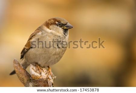 bird - sparrow #17453878