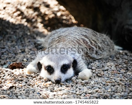 A picture of a meerkat in Australia zoo lying on the ground and trying to rest. A furry meerkat lies in the shade with its paws stretched out on the ground.