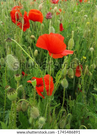 A beautiful picture with red poppies on a green field.  Gorgeus red poppies on the green background.