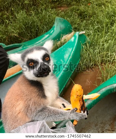 Feline lemur a charming animal with a striped tail from Madagascar