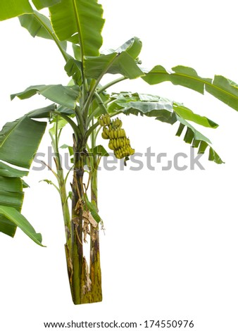 banana tree isolated on white background  #174550976
