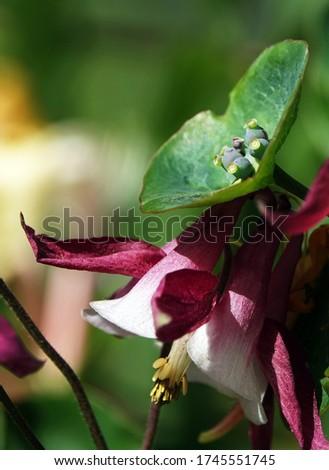 Honeysuckle Flower - Honeysuckle or Honeysuckle goat or Honeysuckle fragrant flower with delicate flowers #1745551745