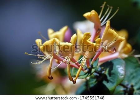 Honeysuckle Flower - Honeysuckle or Honeysuckle goat or Honeysuckle fragrant flower with delicate flowers #1745551748