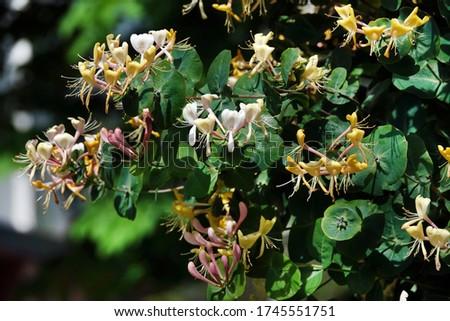 Honeysuckle Flower - Honeysuckle or Honeysuckle goat or Honeysuckle fragrant flower with delicate flowers #1745551751