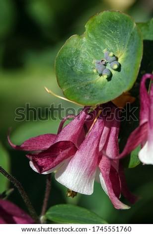 Honeysuckle Flower - Honeysuckle or Honeysuckle goat or Honeysuckle fragrant flower with delicate flowers #1745551760