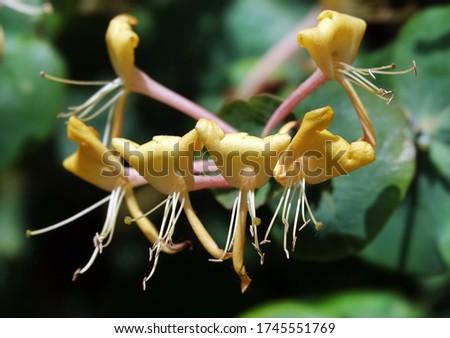Honeysuckle Flower - Honeysuckle or Honeysuckle goat or Honeysuckle fragrant flower with delicate flowers #1745551769