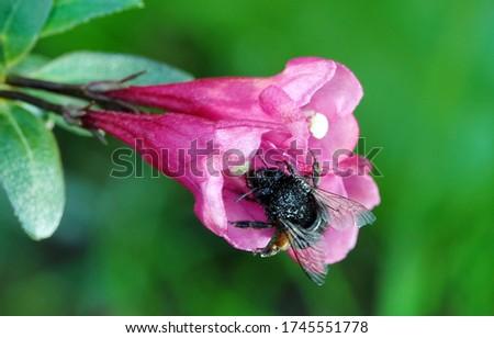Honeysuckle Flower - Honeysuckle or Honeysuckle goat or Honeysuckle fragrant flower with delicate flowers #1745551778