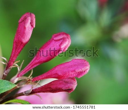 Honeysuckle Flower - Honeysuckle or Honeysuckle goat or Honeysuckle fragrant flower with delicate flowers #1745551781