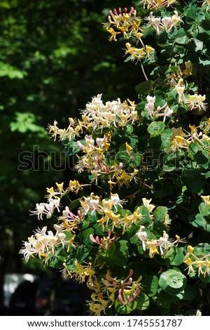 Honeysuckle Flower - Honeysuckle or Honeysuckle goat or Honeysuckle fragrant flower with delicate flowers #1745551787