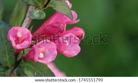 Honeysuckle Flower - Honeysuckle or Honeysuckle goat or Honeysuckle fragrant flower with delicate flowers #1745551790
