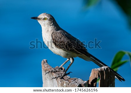 Northern Mockingbird (Mimus polyglottos) Portrait while perched on a stump