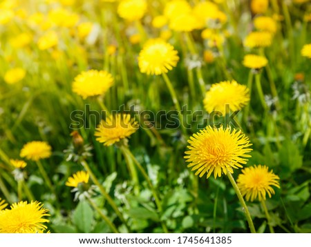 Yellow flowers of dandelions in green backgrounds. Spring and summer background.