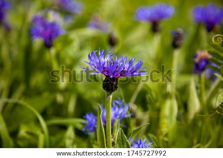 Blue flowers cornflowers in the garden. Cornflower in the flowerbed. Summer wildflower. Field of flowering beautiful wildflowers cornflowers. #1745727992