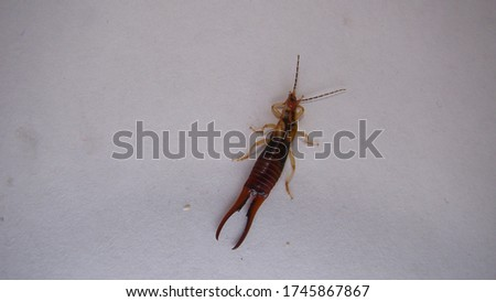 Earwig on a white background | insect