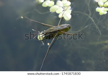 A Common Pond Skater (Gerris lacustris) resting on the surface of a lake.