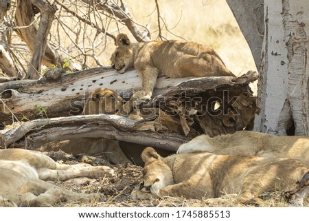 Lions cubs playing by logs with adults asleep #1745885513