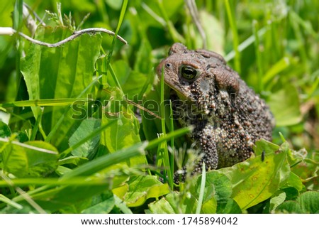 Closeup of a brown terrestrial toad among green grass