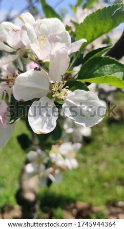 close up pic of flowers of Apple tree. I shot this pic on 20 may 2020. location is kashmir (India).