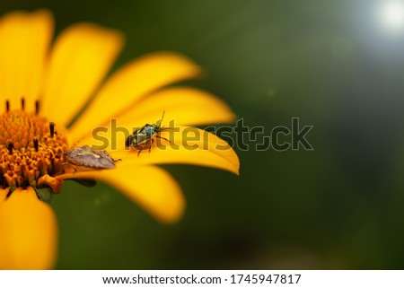 A green bug sits on a yellow flower on a green background with a sun glare. Macro photo of an insect bedbug