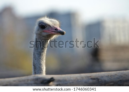 Ostrich grazes on a ranch, closeup portrait of an ostrich. #1746060341
