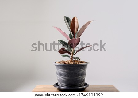 Rubber Plant. India Rubber Fig tree isolated on gray background. Red tree Rubber. Royalty-Free Stock Photo #1746101999