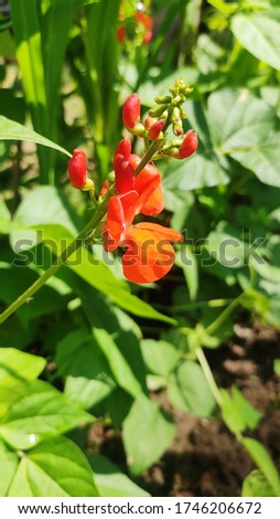 Beautiful flower of French beans plant. I shot this pic on 1 june 2020 in kashmir (India). Every year, in spring season we see these Beans plant's flowers  in which french beans (veggies) comes out.