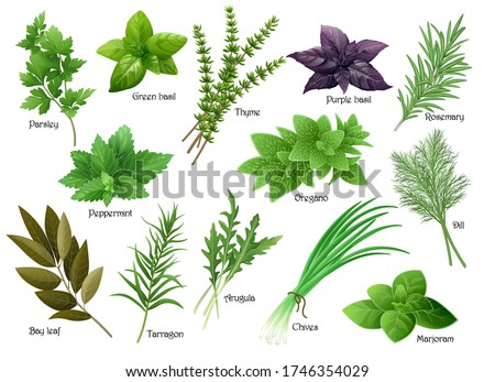 Fresh herbs collection: arugula, dill, parsley, green chives, oregano, green and purple basil, marjoram, thyme, tarrgon, bay leaf, peppermint, rosemary. Vector illustration. #1746354029