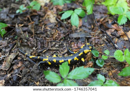 Salamander. A rare species of salamander lizard photographed on the way to the mountain top of Parashka, located in the Ukrainian Carpathians