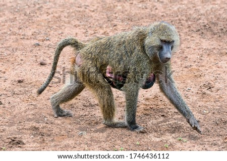 Anubis baboon or olive baboon (Papio anubis), mother with baby, Arusha National Park, Tanzania