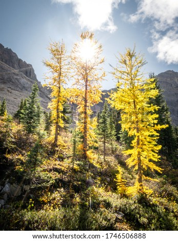 Fall in Canadian Rockies, three golden larches backlit by sun, shot on Galatea Lakes trail in Kananaskis, Alberta, Canada #1746506888