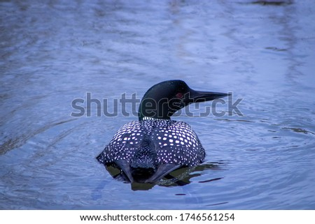 Common Loon Swimming in Calm Water