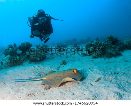 Bluespotted stingray and scuba diver.
