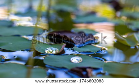 Lotus leaves with drops of water in a dark pond.Natural exotic background.