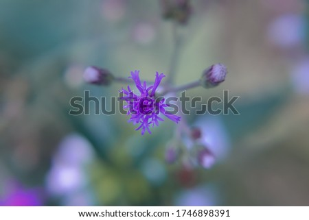 A macro,close up photography of little ironweed petals blooming flowers in the wild garden. The stamens,stigma and pistil flowers cute ironweed plant.