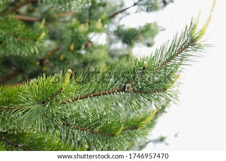 pine branch, pine branch with raindrops, Pine forest #1746957470