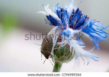 asian bedbug on a centaurea flower