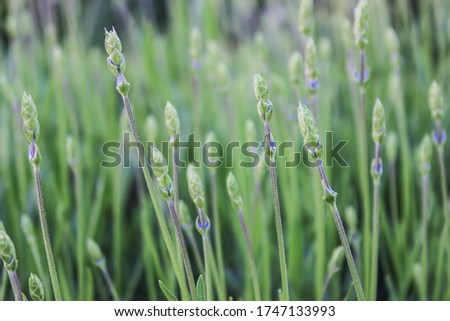 Lavender bush at the beginning of flowering. Young flowers. stem from a fragrant plant. Botany. mood of provence. Elastic, even strands.
