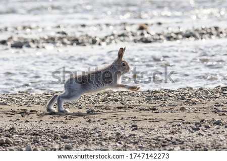 A little hare is jumping along the river bank. Wild white hare (Lepus timidus) in its natural habitat. Running baby tundra hare. Summer season in the tundra. Wildlife of the Arctic. Siberia, Russia.