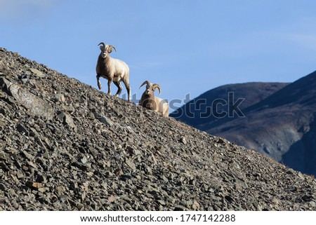 Siberian bighorn sheep (Ovis nivicola). Female and male snow sheep walk along the rocky slope of the mountain. Wild animals in their natural habitat. Wildlife of Siberia. Chukotka, Far East Russia. #1747142288