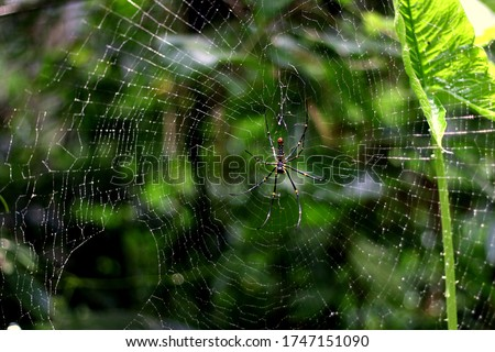 A classic circular form spider's web. Little spider on a web with water drops on a green background.