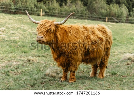 Close up of highland cattle in field.Highland Cow in a pasture looking at the camera.Hairy yak in the Czech mountains enjoys sunny day.Horned red-haired bull in a meadow. #1747201166