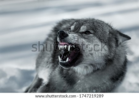Angry grinning wolf (Canis lupus) in winter Royalty-Free Stock Photo #1747219289