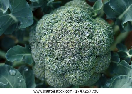 Fresh Broccoli green in the soil, waiting to be harvested. Macro photo green fresh vegetable organic broccoli #1747257980